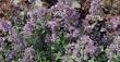 Traubige Katzenminze, Nepeta faassenii 'Walker's Low', 40333