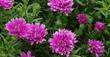 Kissen-Aster, Aster dumosus 'Rose Crystal', 40348