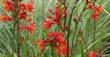 Montbretie, Crocosmia x crocosmiiflora 'Red King', 40292