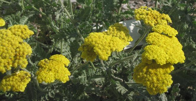 Goldquirl-Garbe, Achillea clypeolata 'Moonshine', 40559