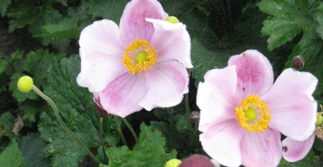 Herbst-Anemone, Anemone hupehensis 'Little Princess', 40549