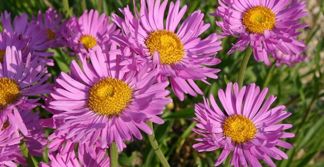 Alpen-Aster, Aster alpinus 'Happy End', 40519
