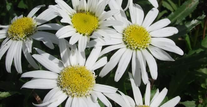 Großblumige Margerite, Leucanthemum x superb.'Angel Wings', 40319