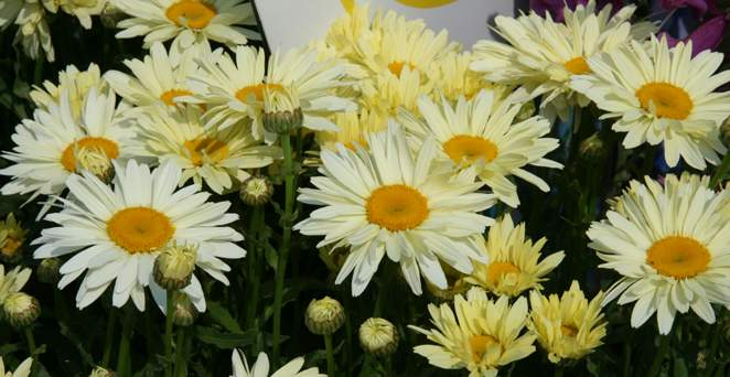 Großblumige Margerite, Leucanthemum x superb.'Broadway Lights' -R-, 40320